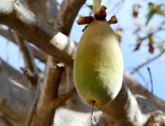 Le fruit du baobab, un fruit source d'énergie